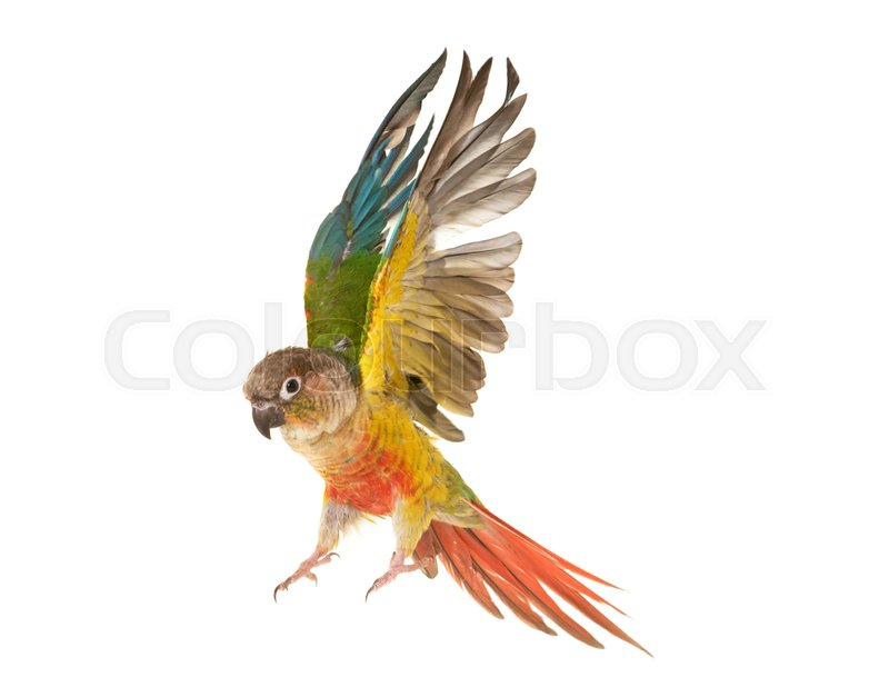 Stock image of 'Green-cheeked parakeet in front of white background'
