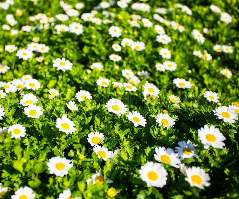 Stock image of 'summer concept - close up of blooming chamomile field'