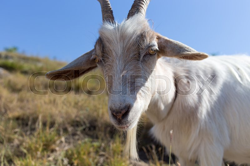 Stock image of 'Funny goat portrait against sunny meadow background.'