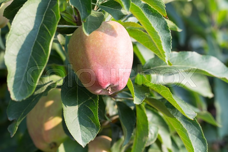 Stock image of 'Red ripe apple on apple tree branch. Macro. Photo can be used as a whole background.'