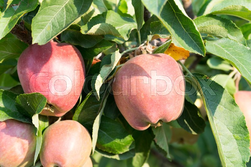 Stock image of 'Red ripe apples on apple tree branch. Macro. Photo can be used as a whole background.'