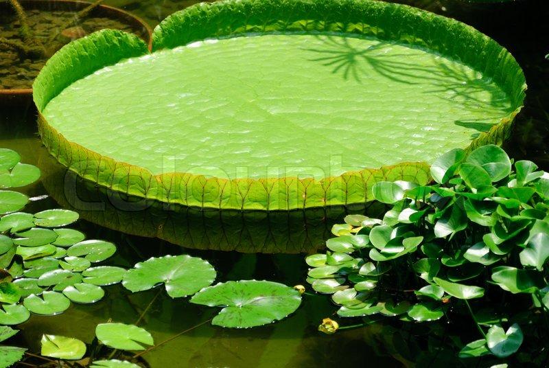 Victoria Lotus Leaf Stock Photo Colourbox