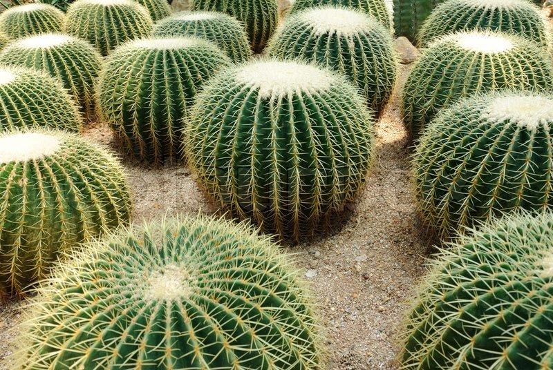 Golden ball cactus echinocactus grusonii stock photo for Cactus santiago