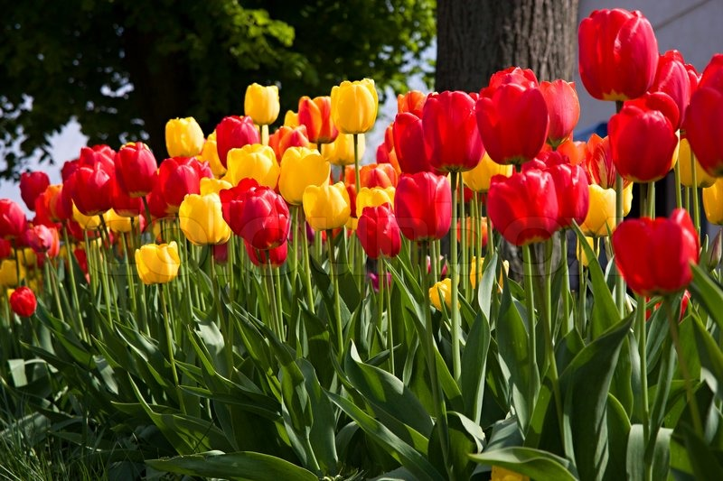 Beautiful spring flowers colorful spring tulips stock photo beautiful spring flowers colorful spring tulips stock photo colourbox mightylinksfo