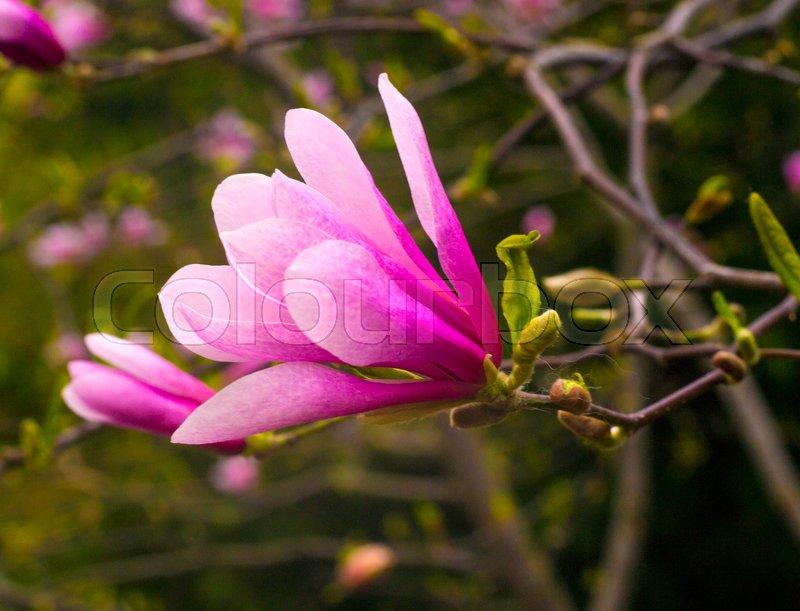 Decoration Of Few Magnolia Flowers Pink Magnolia Flower Magnolia