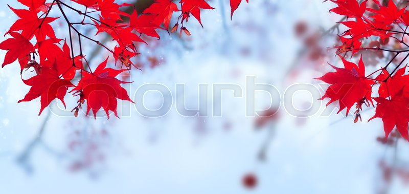 Fall red maple leaves on blue sky defocused background banner, stock photo