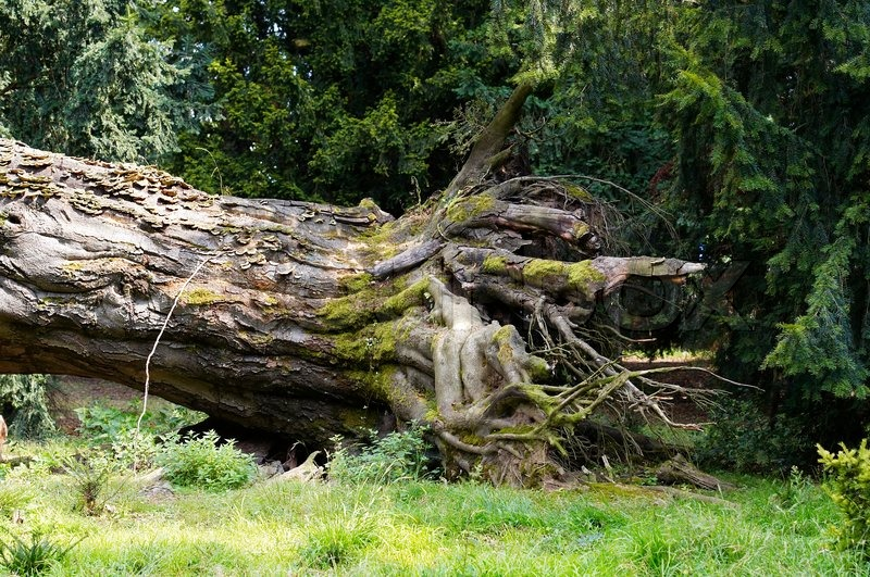 Roots Of Uprooted Tree