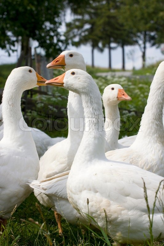 Domestic Geese in the garden in the countryside, stock photo