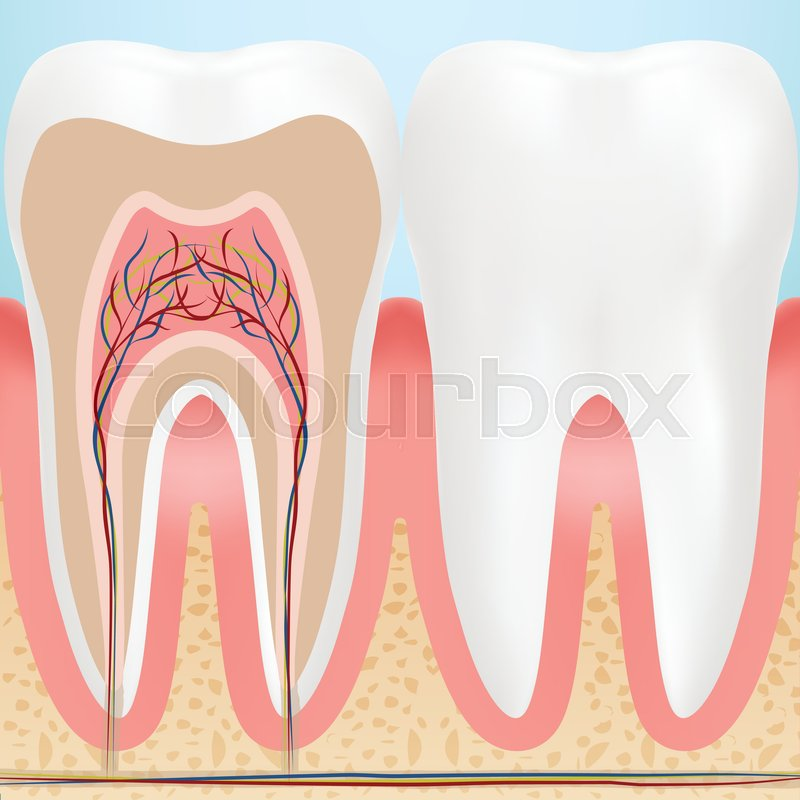 Anatomy Of Healthy Teeth Isolated On A Background Vector