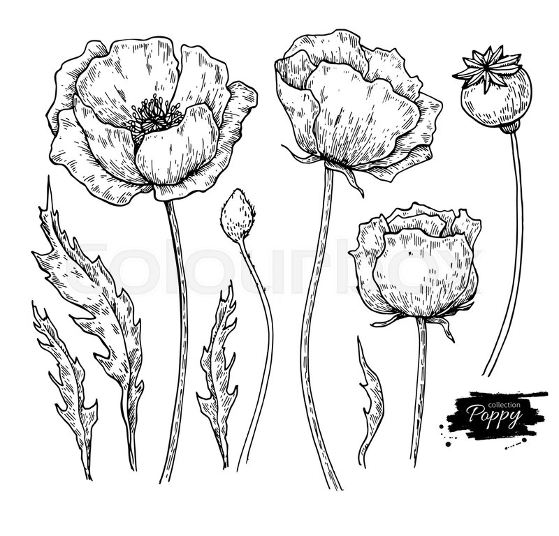 Poppy flower vector drawing set isolated wild plant and leaves poppy flower vector drawing set isolated wild plant and leaves herbal engraved style illustration detailed botanical sketch vector mightylinksfo Choice Image