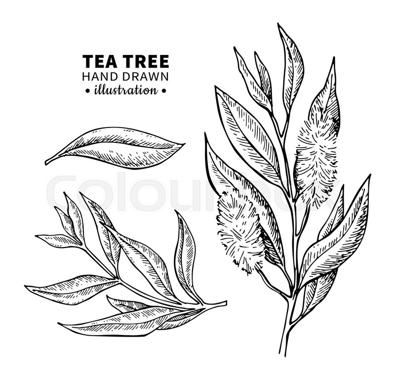 Stock Vector Of Tea Tree Drawing Isolated Vintage Illustration Medical Plant Leaves