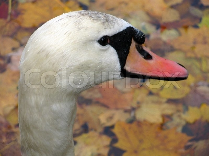 Stock image of 'White swan head'