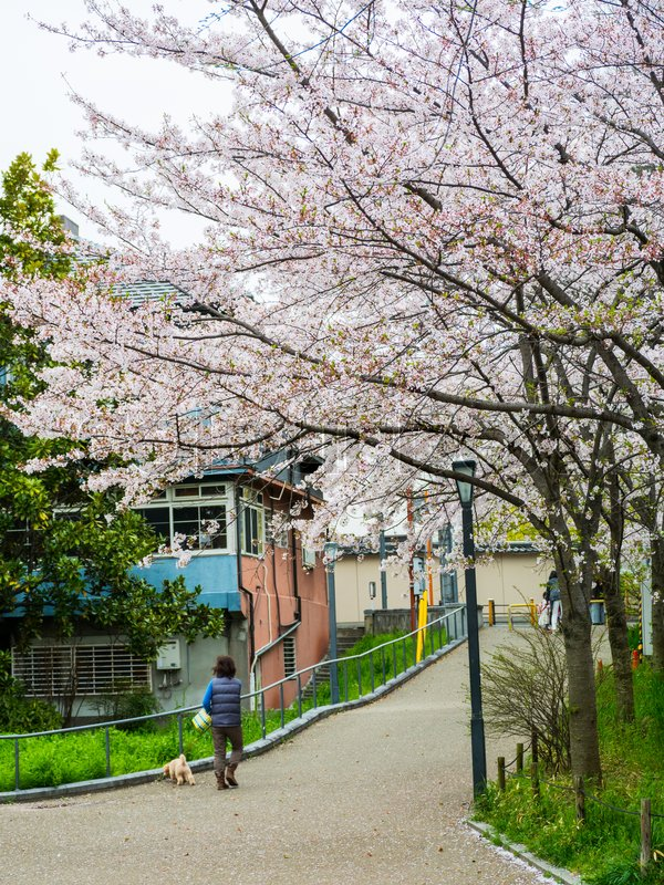 People with dog walk park near Okawa River cherry blossom of Osaka. , stock photo