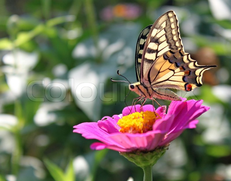 Butterfly (Papilio Machaon) sitting on flower (zinnia