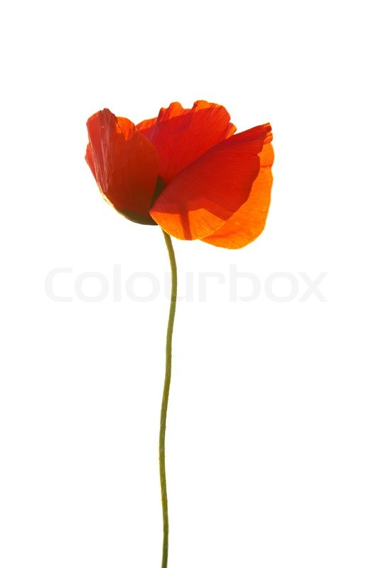 Stock image of 'Beautiful red poppy isolated on white background'