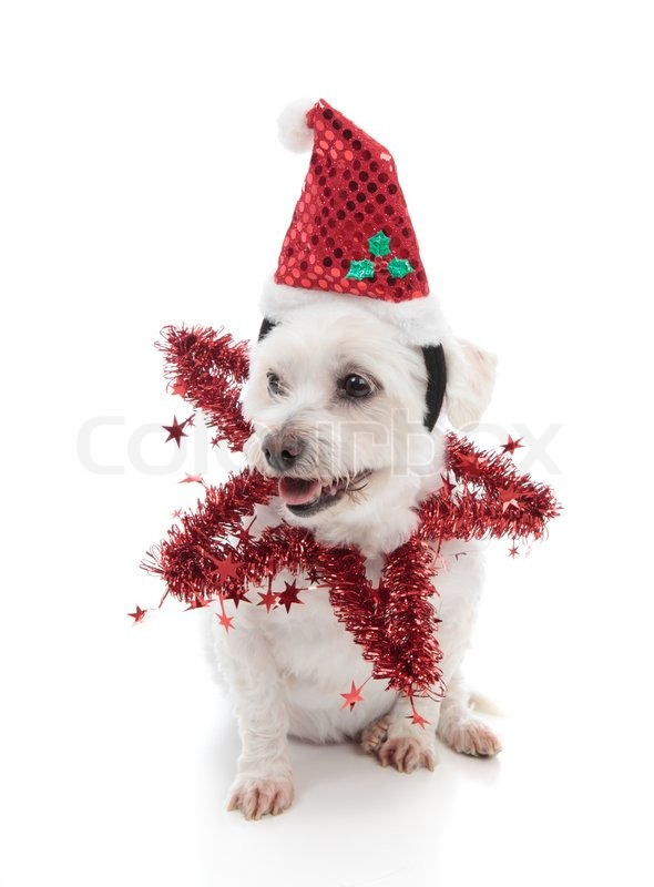 a small pet dog wearing a festive santa hat and red tinsel