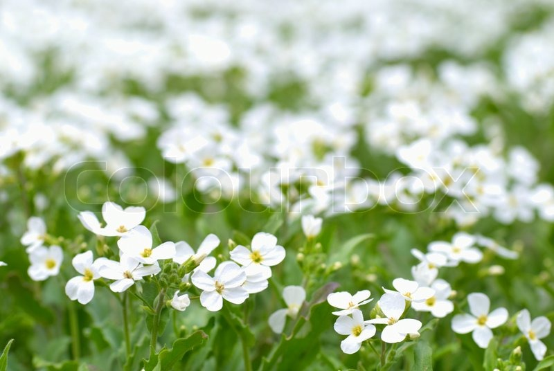 Field Of White Flowers On The Green Stock Photo Colourbox