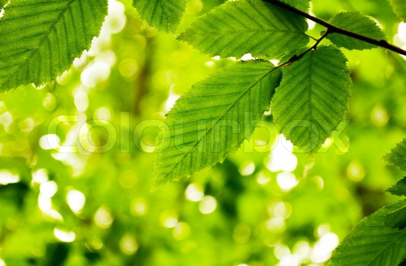 lime green leaves on a white background stock photo colourbox