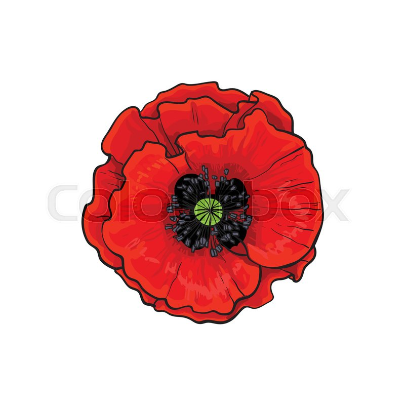 Vector red poppy flower blooming closeup isolated illustration on a stock vector of vector red poppy flower blooming closeup isolated illustration on a white mightylinksfo