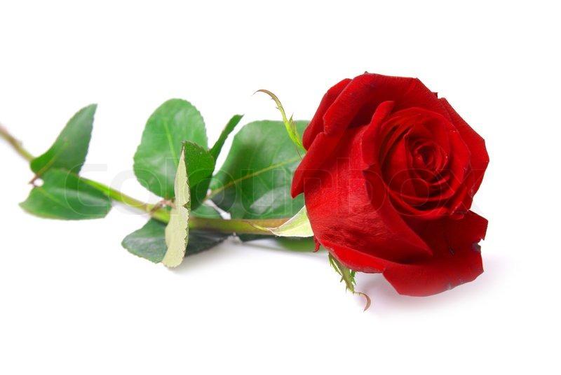 Schöne rote rose isolierten auf weißen ...   Stockfoto ...
