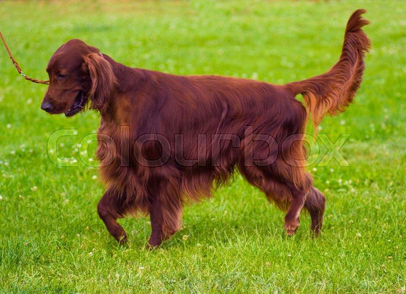 9e3e03c69bb Cute Irish Setter puppy. Irish red ...   Stock image   Colourbox
