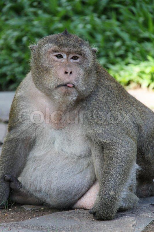 Fat Baby Monkeys Fat Monkey