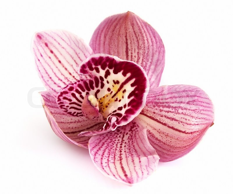 Orchid flower on a white background closeup | Stock Photo | Colourbox
