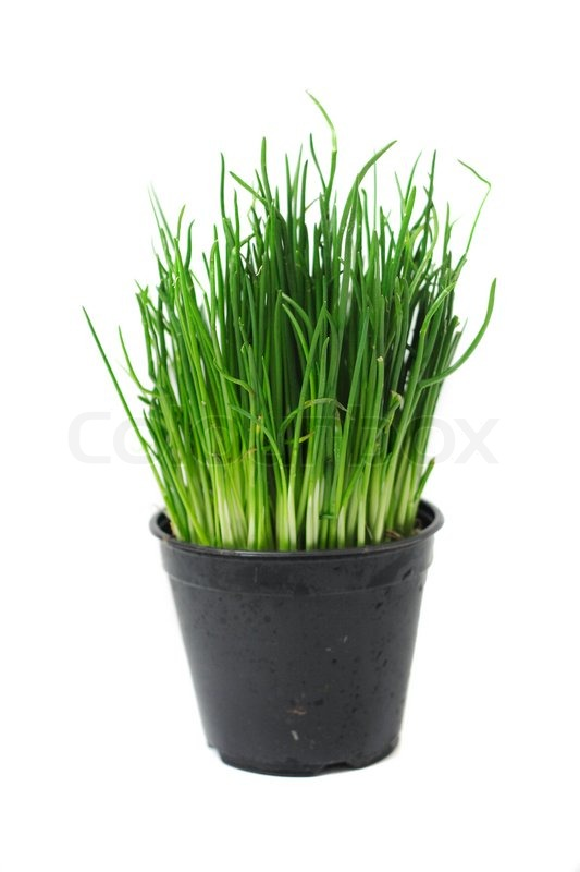 Green Easter Grass In The Pot Isolated Stock Photo