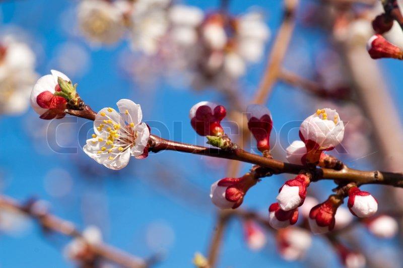 Beautiful cherry tree on blue sky, stock photo