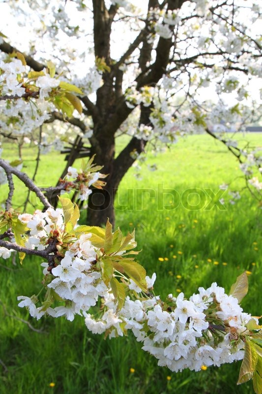 apple flowers as very nice spring background  stock photo  colourbox, Beautiful flower
