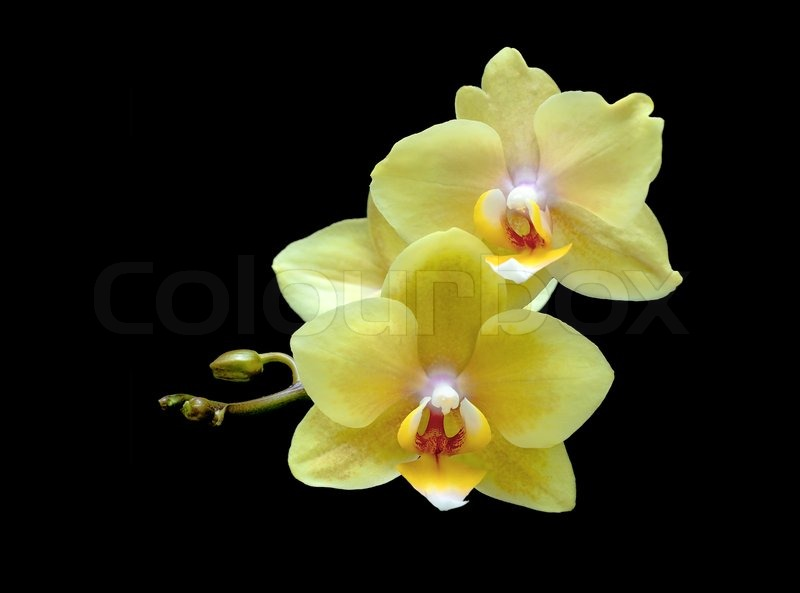 Flowers yellow orchid on black background close up stock photo flowers yellow orchid on black background close up stock photo colourbox mightylinksfo