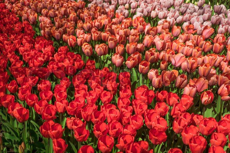 Red tulips. Amazing red tulip flower. Spring scene of tulip field, stock photo