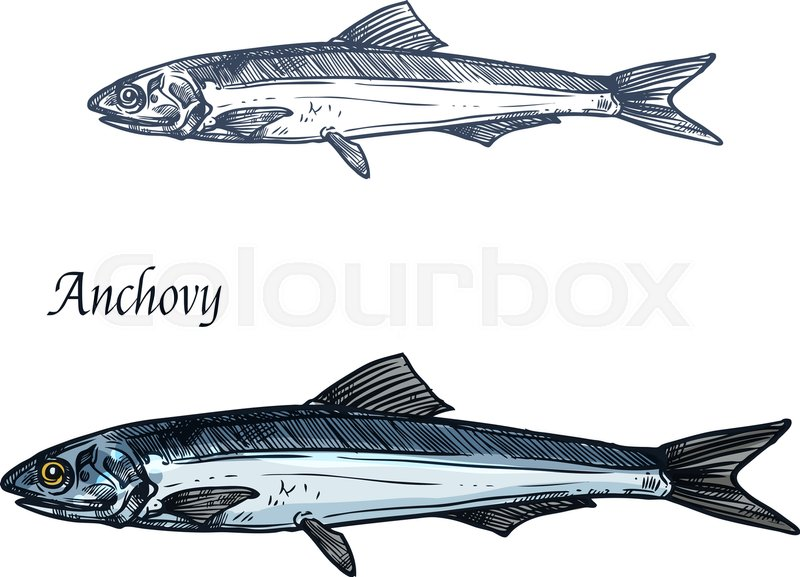 Anchovy Fish Isolated Sketch European Anchovy Small Saltwater