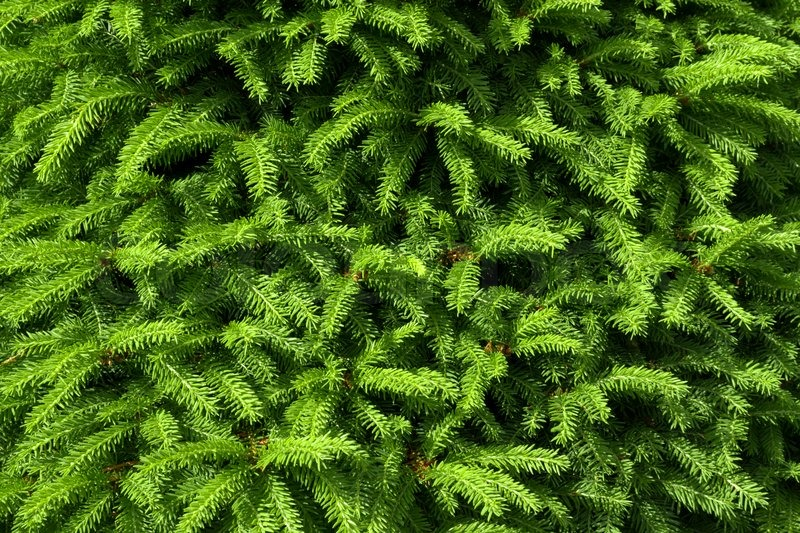 Green Fir Tree Branches As Background Stock Photo