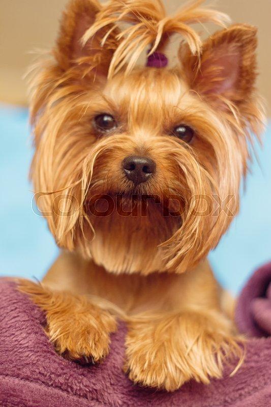 Beautiful And Cute York Terrier Dog: Beautiful And Cute York Terrier Dog At ...
