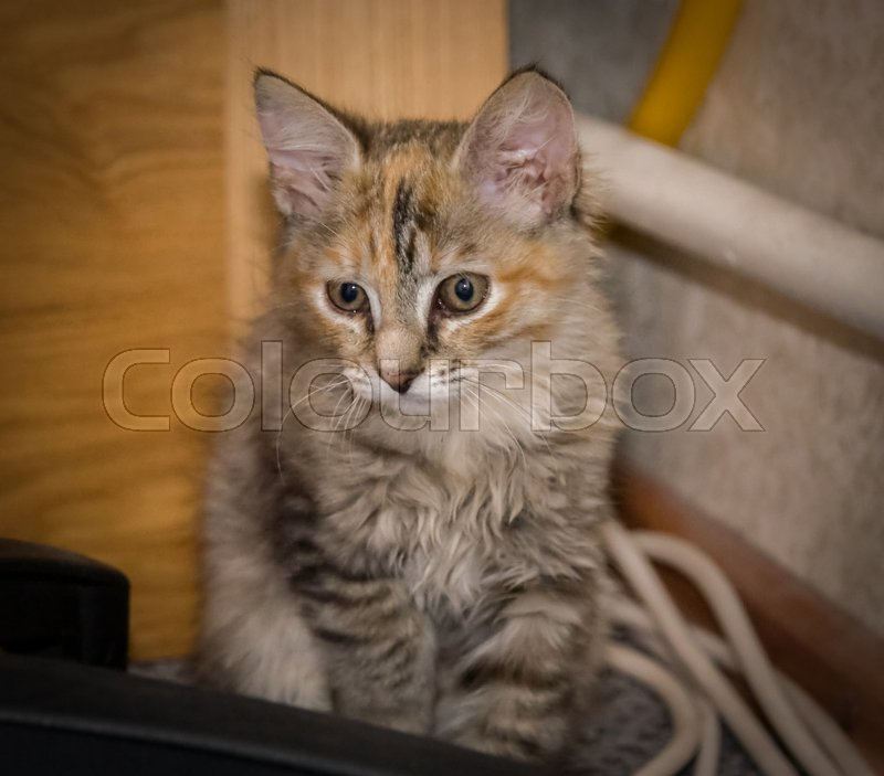 Cat, kitten, winter, snow, animal, beautiful, beauty, curiosity, cute, domestic, ears, eyes, face, feline, fur, home, kitty, looking, nature, orange, paw, pet, playful, portrait, small, striped, sweet, view, whisker, white, young, stock photo