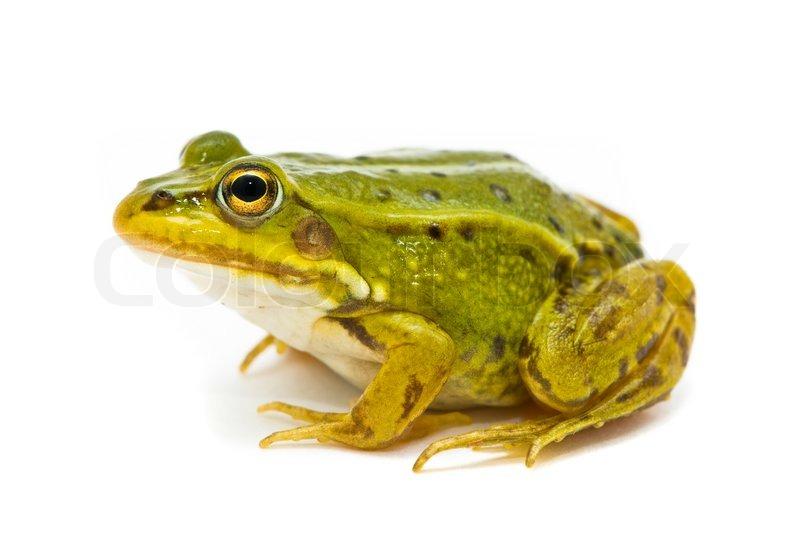 green european oder wasser frosch auf wei em hintergrund stockfoto colourbox. Black Bedroom Furniture Sets. Home Design Ideas
