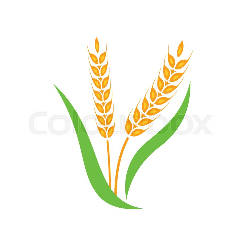 Wheat barley spike yellow isolated on white background ... Rice Plant Logo Vector