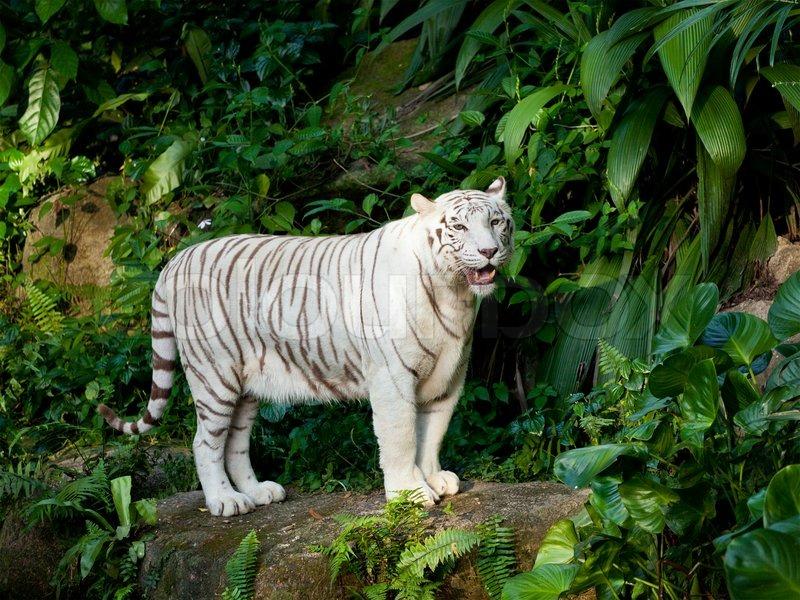 hvid tiger i junglen stock billede colourbox
