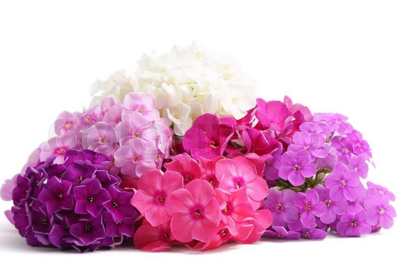 Bunte Phlox Blumen pink, rosa , violett und weiß | Stockfoto | Colourbox