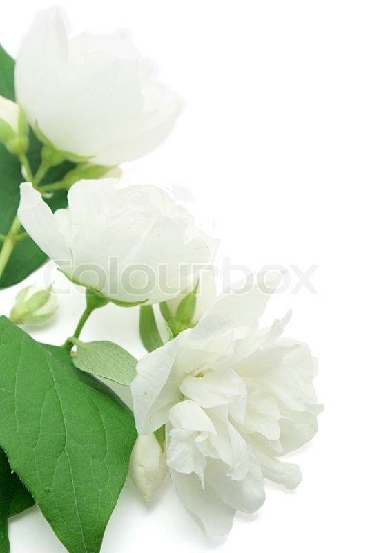 Jasmine Flower  on Stock Image Of  White Jasmine Flowers Isolated On White Background