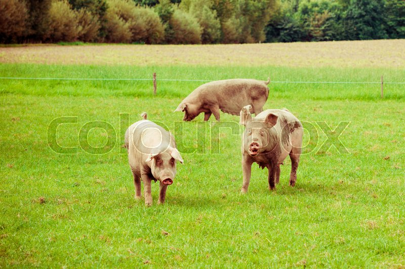 Pig farm. pigs in field. Healthy pig on meadow, stock photo