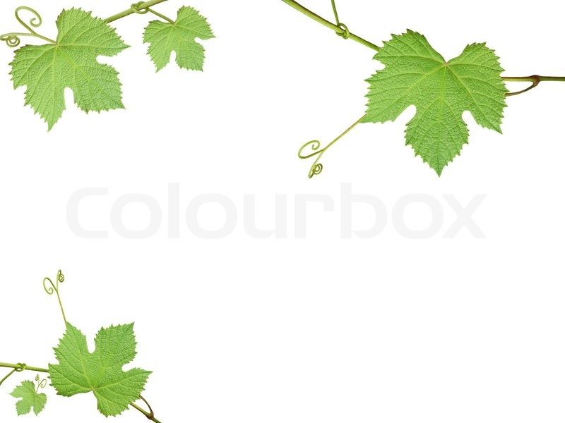 The Green Grape Leaves On A White Stock Image Colourbox