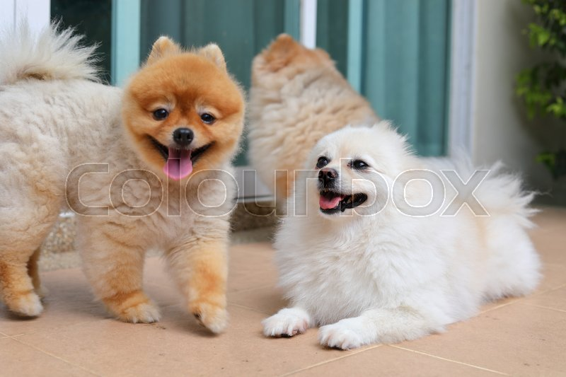 Group of pomeranian dog cute pets family happy in home, stock photo