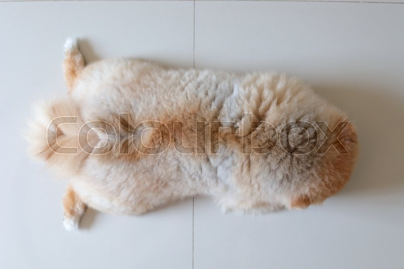 Brown pomeranian dog fluffy hair softness, pets grooming care hairstyle, stock photo