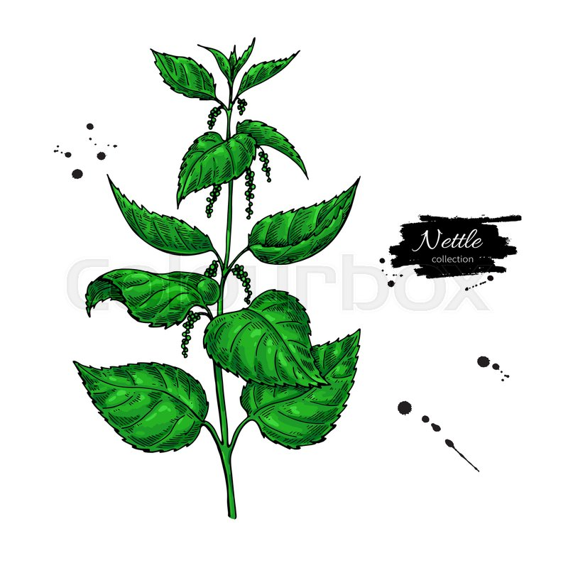 Nettle Vector Drawing Isolated Medical Plant With Leaves Herbal Artistic Style Illustration Detailed Botanical Sketch For Tea Organic Cosmetic