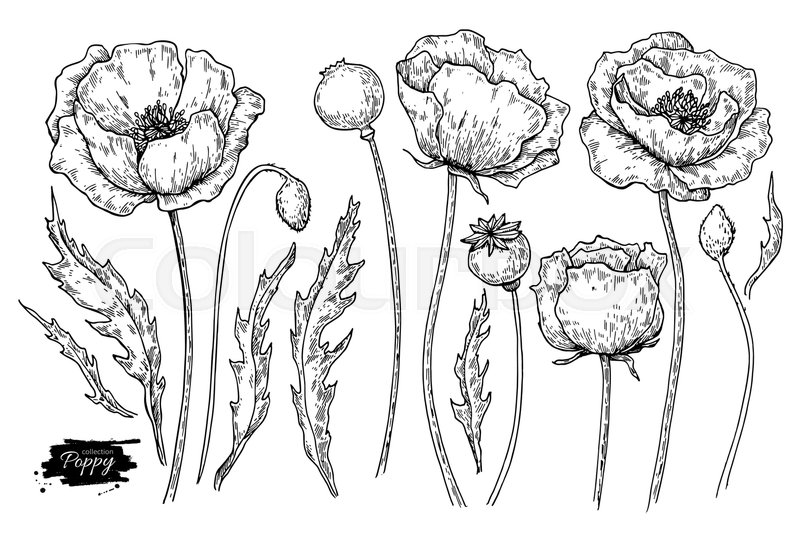 Poppy flower vector drawing set isolated wild plant and leaves poppy flower vector drawing set isolated wild plant and leaves herbal engraved style illustration detailed botanical sketch stock vector colourbox mightylinksfo
