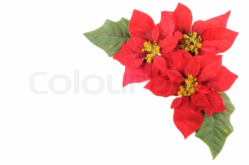 Christmas flower poinsettia with leafs on a white