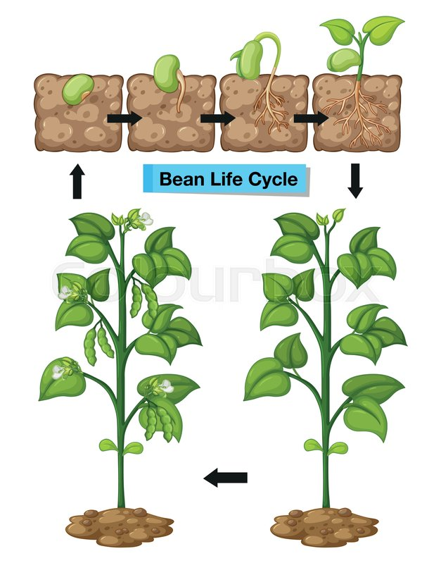 Diagram Showing Life Cycle Of Bean Illustration