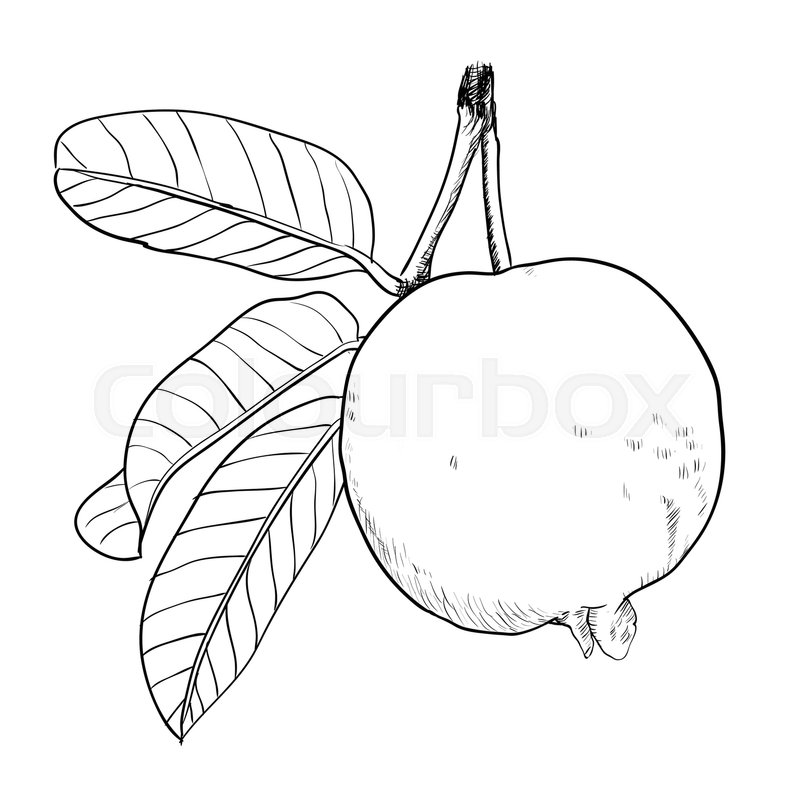Hand Drawing Of Guava With Leaf Black And White Simple Line Vector Illustration For Coloring Book